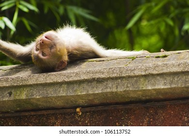 Wild monkey sunbathing on a ledge in the Qianling Mountain park in Guiyang China