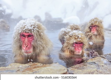 A wild monkey that enters a hot spring. Snow monkey in Japan.