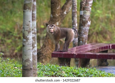 Wild monkey visiting people home standing on terrace in forest at Khao Yai National Park, Thailand