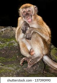 wild monkeys in the Batu Caves Kuala Lumpa Malaysia