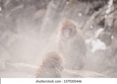 Wild monkeys at hot spring of Jigokudani (Snow monkey park), Takayama, Japan in the middle of December.
