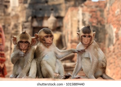 The wild monkeys in the Lopburi city, Thailand