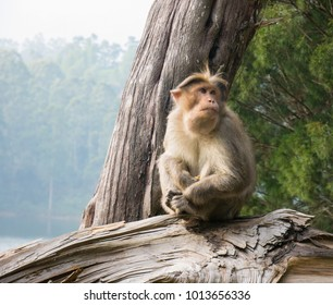 Wild Monkeys near Munnar, Kerala, India