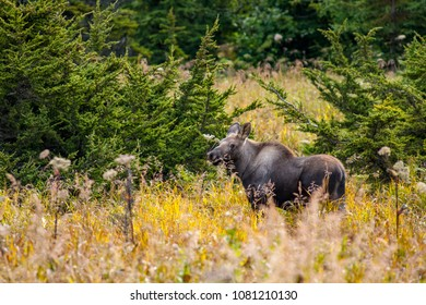 Wild moose calf in Anchorage, Alaska