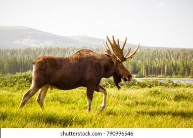 Wild Moose Grazing the Mountains of Colorado || Brainard Lake Recreation Area, Ward, CO [Colorado Wildlife]