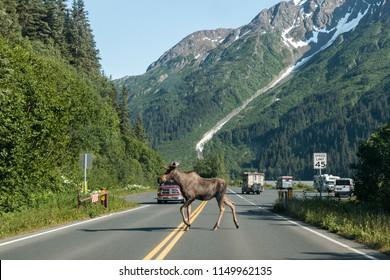 Wild moose in Kenai Fjords National Park in Alaska in the Kenai Peninsula.