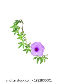 Wild morning glory flowers and leaves tropical plant climbing on twisted jungle liana isolated on white background.