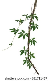 Wild morning glory leaves climbing on twisted jungle liana isolated on white background, clipping path included