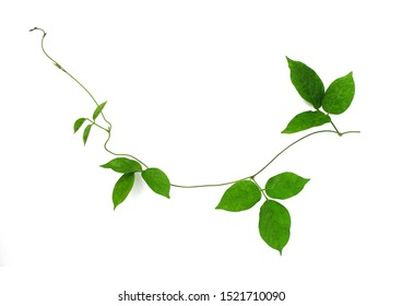 Wild morning glory leaves jungle vines tropical plant isolated on white background, clipping path included