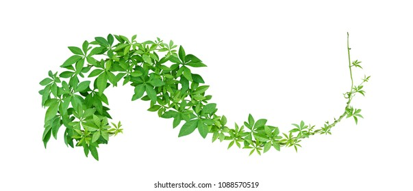 Wild morning glory leaves tropical plant climbing on twisted jungle liana isolated on white background, clipping path included