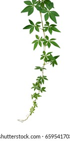 Wild morning glory leaves vine hanging isolated on white background, clipping path included