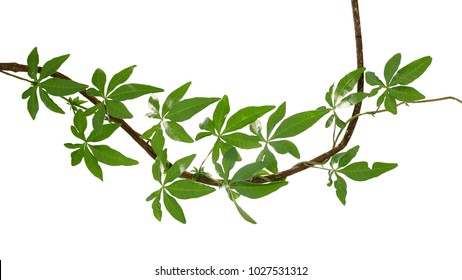 Wild morning glory or railway creeper (Ipomoea cairica) vine with green leaves climbing and twist around dried liana plant isolated on white background, clipping path included.
