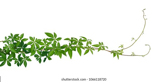 Wild morning glory tropical jungle vine leaves isolated on white background, clipping path included