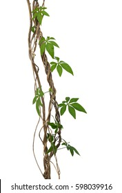 Wild morning glory vine leaves climbing on twisted jungle liana tropical plant isolated on white background, clipping path included
