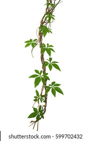 Wild morning glory vine leaves climbing on twisted jungle liana isolated on white background, clipping path included