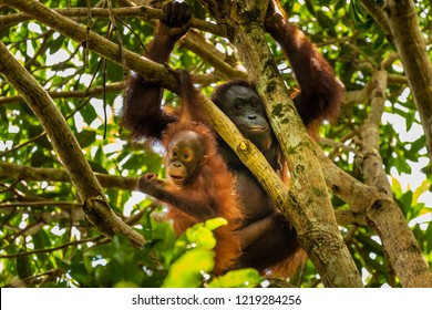 A wild mother and baby Bornean Orangutan in the rainforest of eastern Borneo