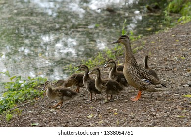 A wild mother duck by a pond with a clutch of fuzzy ducklings