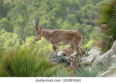 wild mountain goat in a rocky terrain in spain