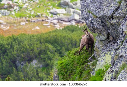 Wild mountain goat in the Transylvanian Alps, climbing on rocks, in summer