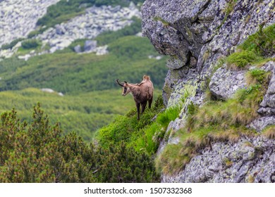 Wild mountain goat in the Transylvanian Alps in summer