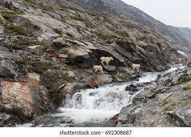Wild mountain goats in the Colorado Rocky Mountains.
