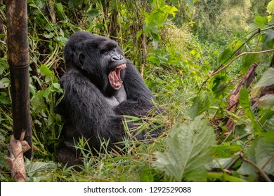 Wild mountain gorilla silverback yawning in the nature habitat. Very rare and endangered animal close up. African wildlife.Big and charismatic creature. Mountain gorillas. Gorilla beringei beringei.