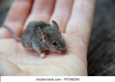 Wild mouse on hand