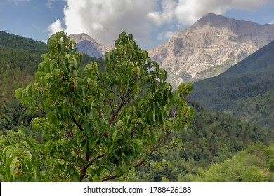 Wild mulberry (Morus) grows against the background of mountains on a summer, sunny day close-up