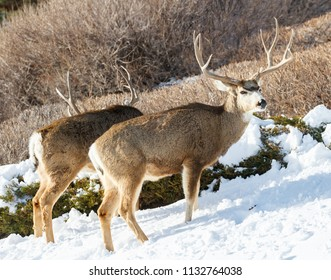 Wild Mule Deer Doe In the Colorado Great Outdoors