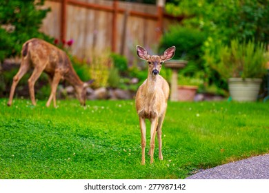 Wild mule deer strides in suburban backyard, staring into the camera on alert.