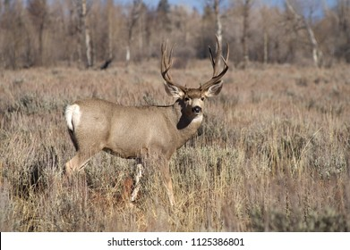 A wild mule deer watches ready to defend his mate in the woods of Wyoming