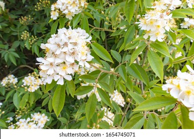 Wild Multiflora Rose bush, also known as Seven-Sisters, Baby, Japanese and Rambler Rose, spring and summer blooming background.