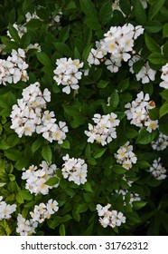 Wild Multiflora Rose bush.  Usually planted for privacy or as a border, but is often found wild.
