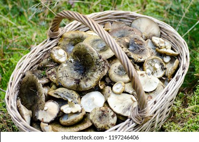 wild mushroom. large basket with mushrooms. picking mushrooms in the woods in autumn. Lactarius turpis known as the Ugly Milk-cap