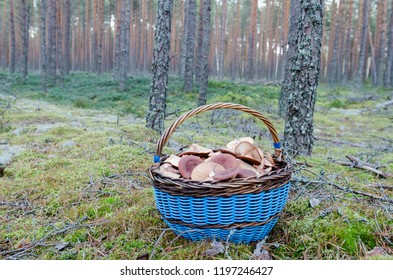 wild mushroom. large basket with mushrooms. picking mushrooms in the woods in autumn. Lactarius rufus known by the common name of the rufous milkcap, or the red hot milk cap