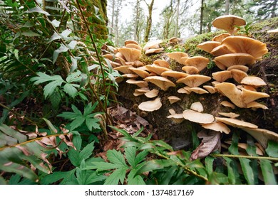 Wild mushrooms growing on a fallen tree trunk in a temperate rainforest in Oregon.