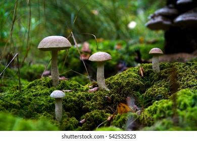Wild mushrooms growing on moss. Central Russia.