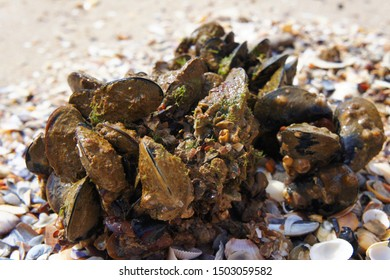 Wild mussels covered with silt and scraps of algae lie on a shell beach. Macro shot