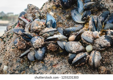 Wild mussels in the nature, on the rocks of the shore in Brittany, France