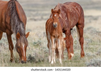 Wild mustang filly and parents