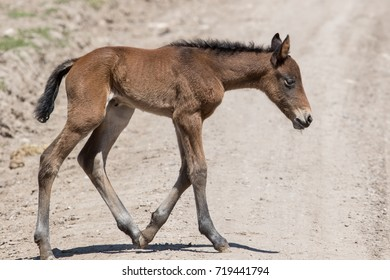 Wild mustang foal alone in the desert