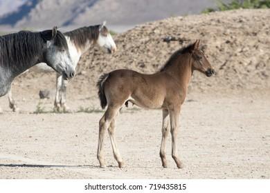Wild mustang foal with herd in desert
