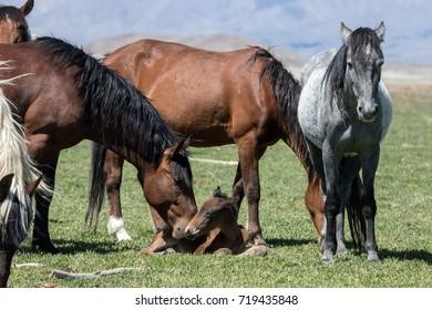 Wild mustang foal with herd in field