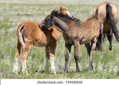 Wild mustang foals nuzzling in field