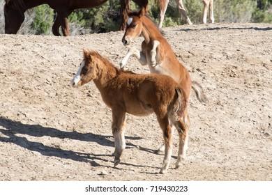 Wild mustang foals playing in desert