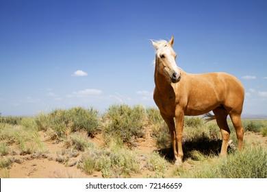 Wild mustang horse glazing in desert