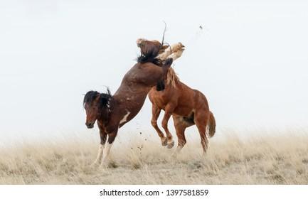 Wild mustang horses in battle