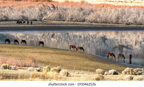 Wild Mustang Horses drinking out of Little Washoe Lake in Northern Nevada near Reno.