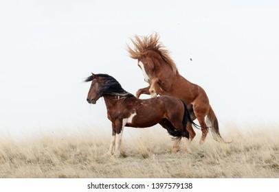 Wild mustang horses fighting in Wyoming