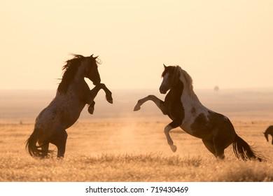 Wild mustang horses sparing in the desert